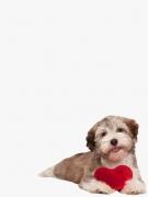 Collie mit Herz